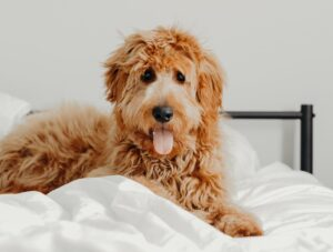 Tips To Follow If You Wish To Train Your Goldendoodle Into A Guard Dog