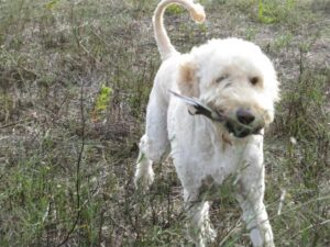 Training Labradoodles for Hunting