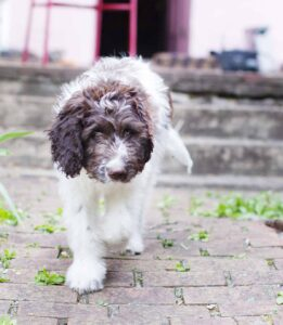 Training and Exercising Your Newfiedoodle
