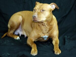 Understanding Your Pitbull Pregnancy Stages