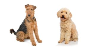 What Activities do the Airedale Poodle Mix Require