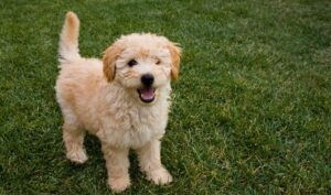 What Does A Goldendoodle Look Like