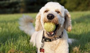 What Kind Of Prey Drive Do Goldendoodles Have