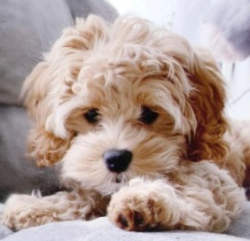 What You Should Know About Doodle Dogs