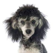 What is the Phantom Poodle?