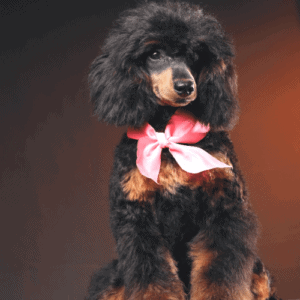 Where Did Phantom Poodles Come From