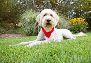 Why Are Goldendoodles Good Service Dogs
