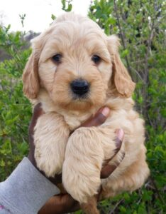 Why You Should Get Yourself a Mini Doodle Dog