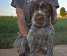 Wirehaired Pointing Griffon Puppies For Sale in the United States