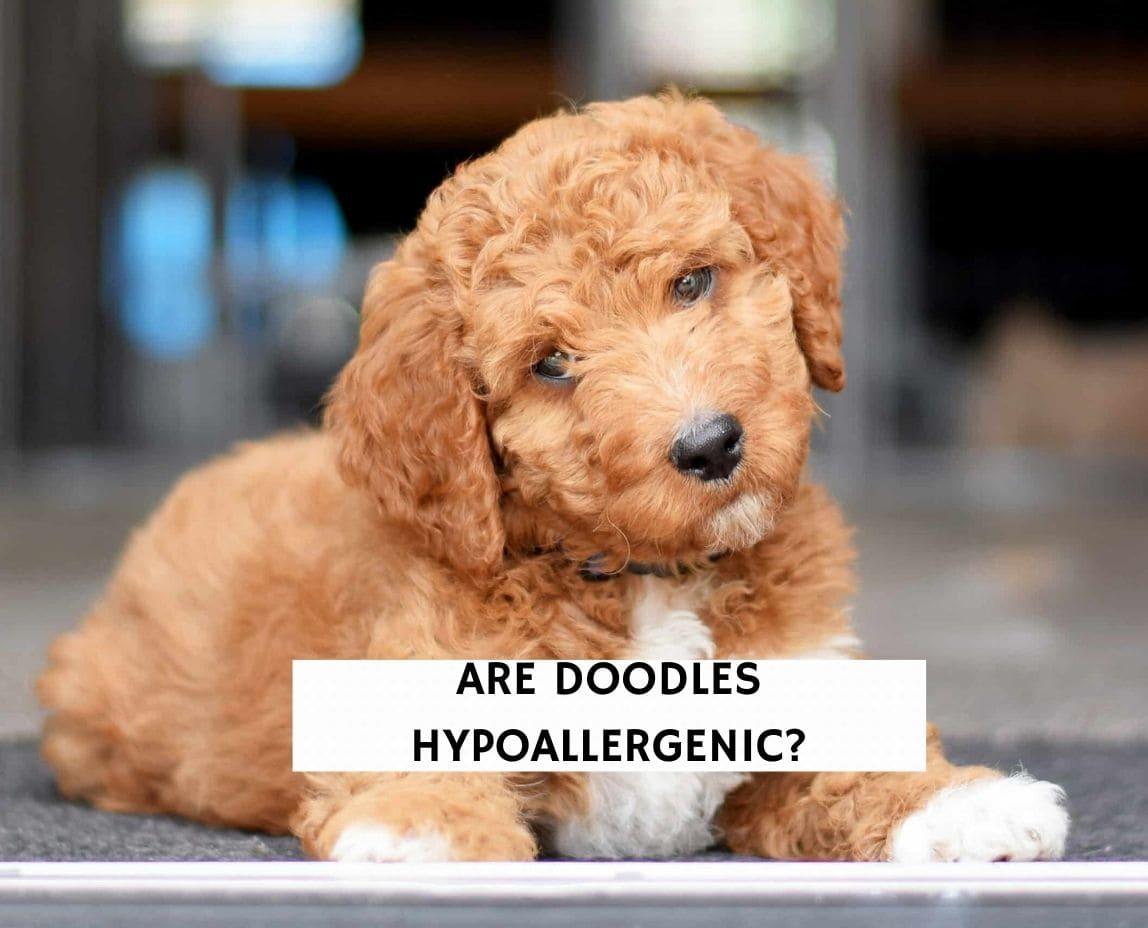 Are Doodles Hypoallergenic?