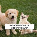 Are Goldendoodles Good With Cats?