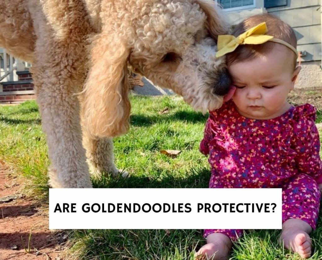Are Goldendoodles Protective?