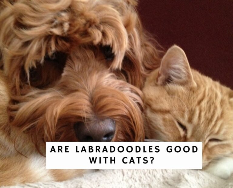 Are Labradoodles Good with Cats?