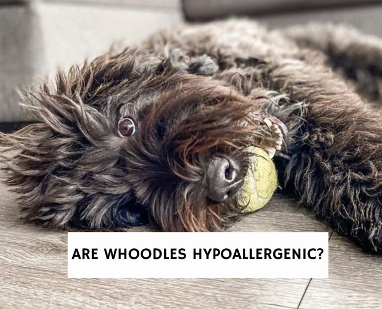 Are Whoodles Hypoallergenic?