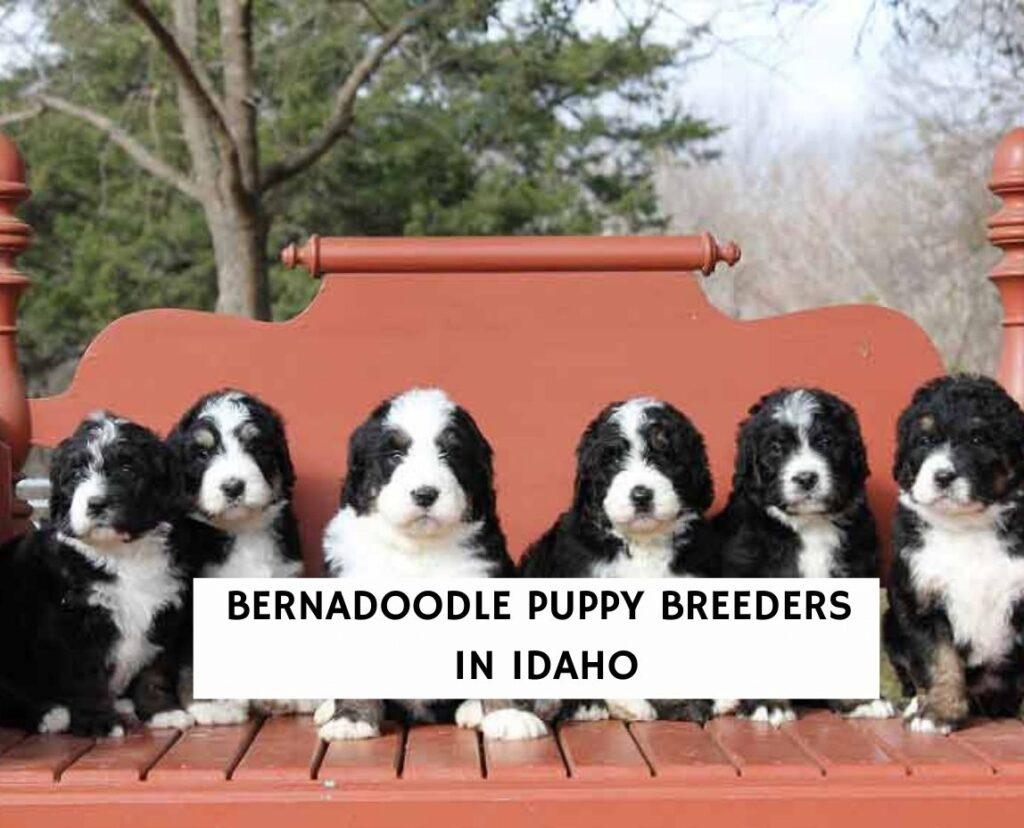 Bernadoodle Puppy Breeders in Idaho