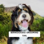Bernedoodle Grooming Tips