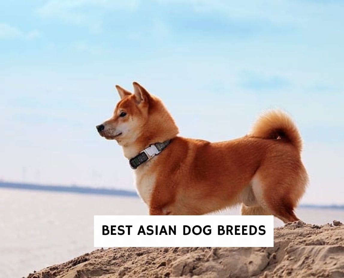 Best Asian Dog Breeds