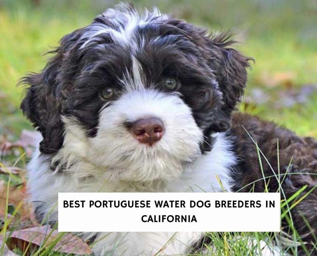 Best Portuguese Water Dog Breeders in California
