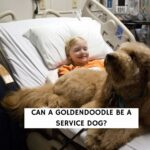 Can a Goldendoodle Be a Service Dog?