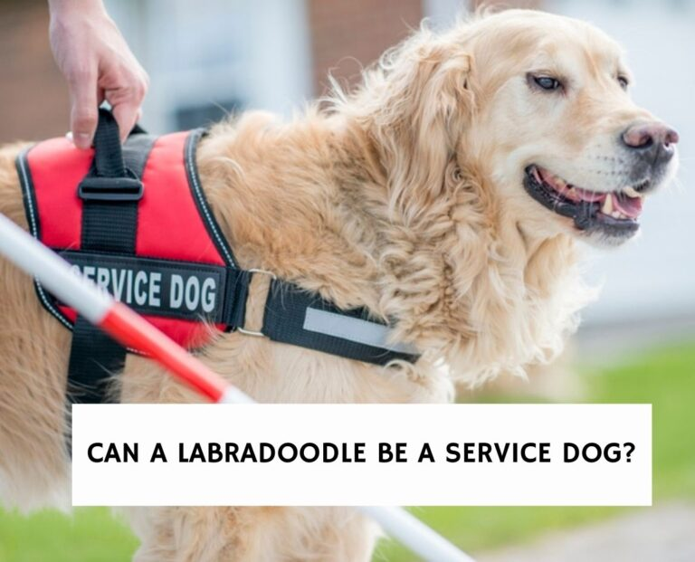 Can a Labradoodle Be a Service Dog?Can a Labradoodle Be a Service Dog?