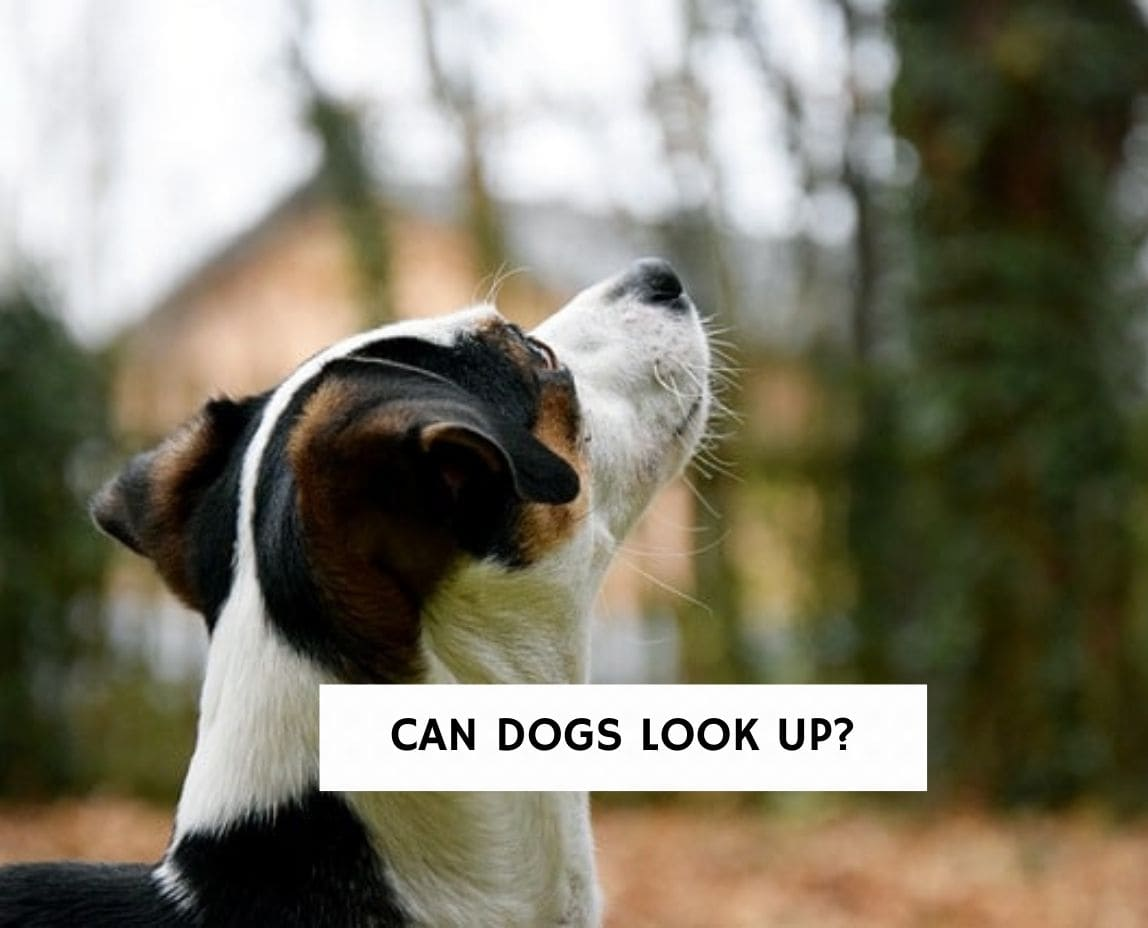 Can Dogs Look Up?