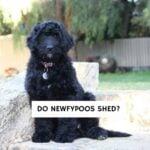 Do Newfypoos shed?