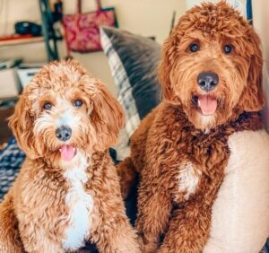 Male vs Female Goldendoodle: Which One is Better?