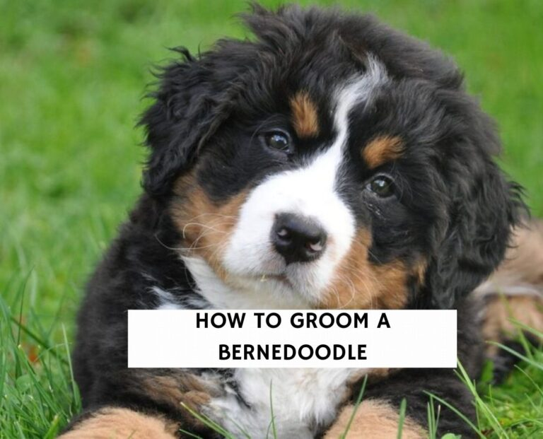 How To Groom A Bernedoodle