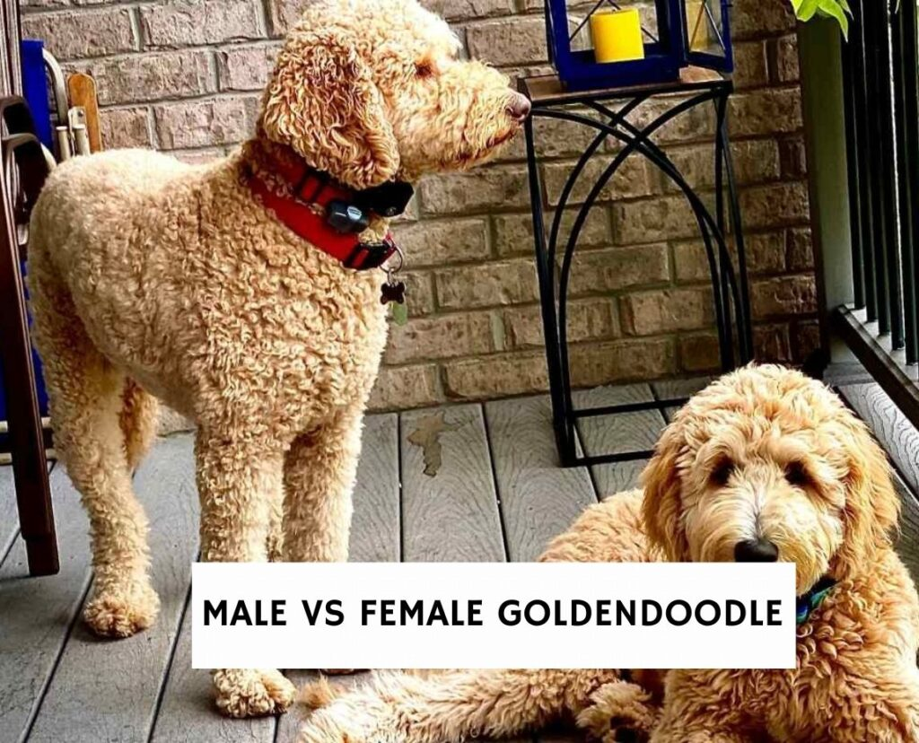 Male vs Female Goldendoodle