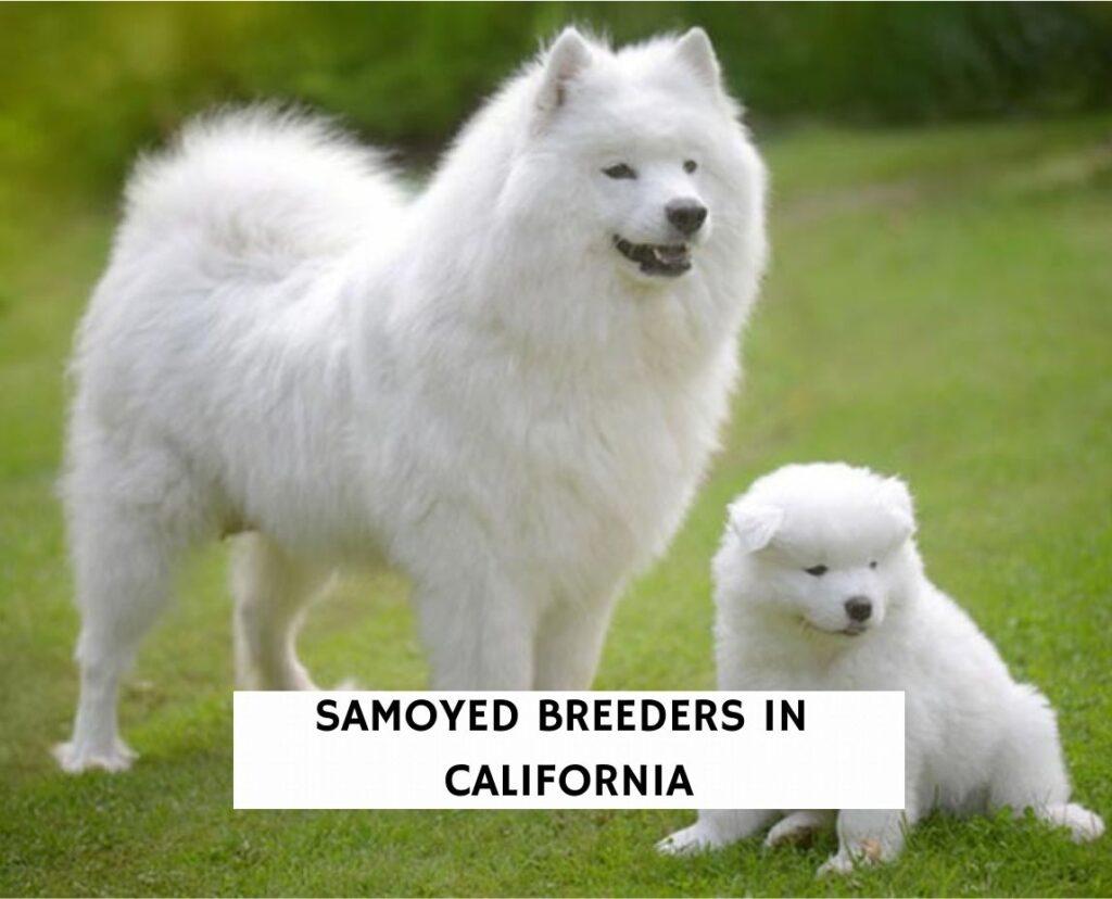 Samoyed Breeders in California