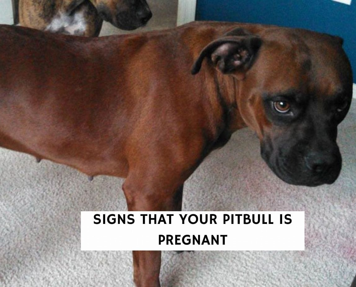 Signs That Your Pitbull Is Pregnant