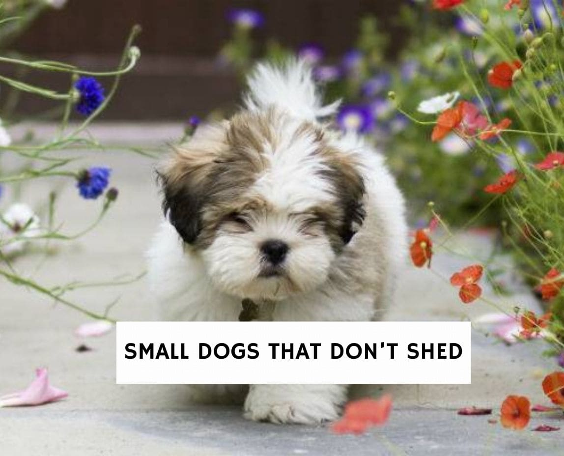 Small Dogs that Don't Shed