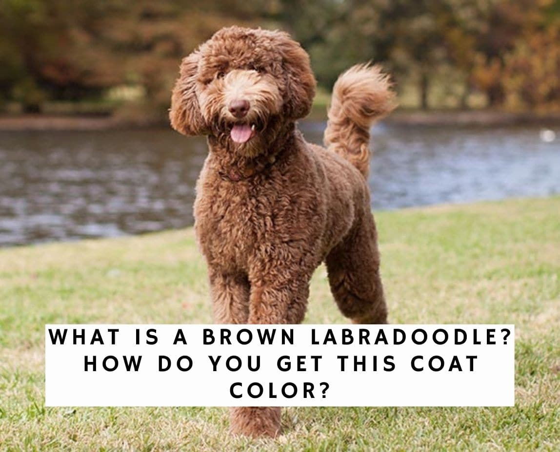 What is a Brown Labradoodle? How Do You Get This Coat Color?