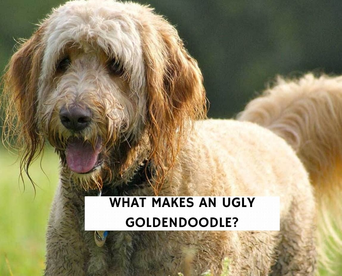 What Makes An Ugly Goldendoodle?