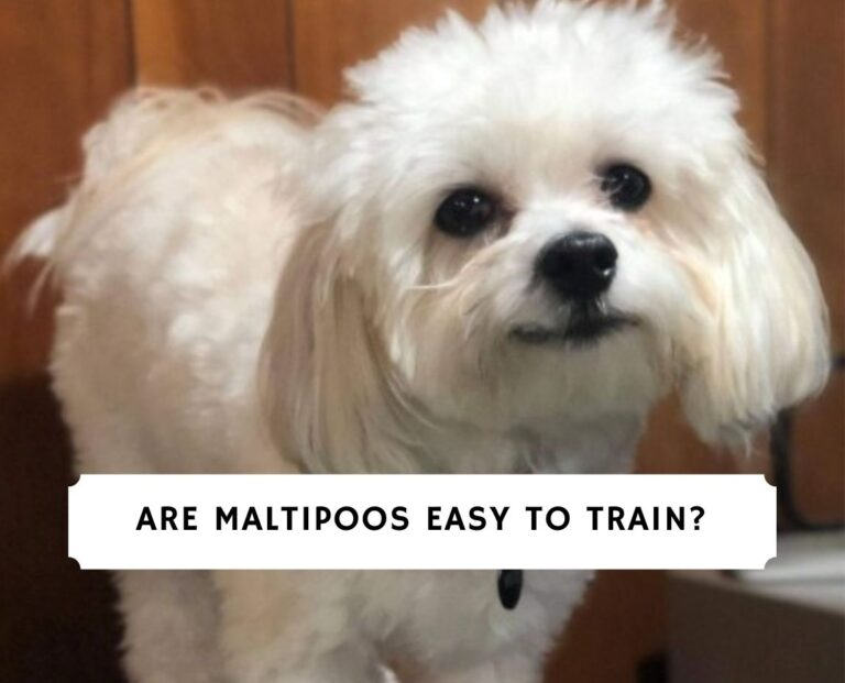 Are Maltipoos Easy to Train
