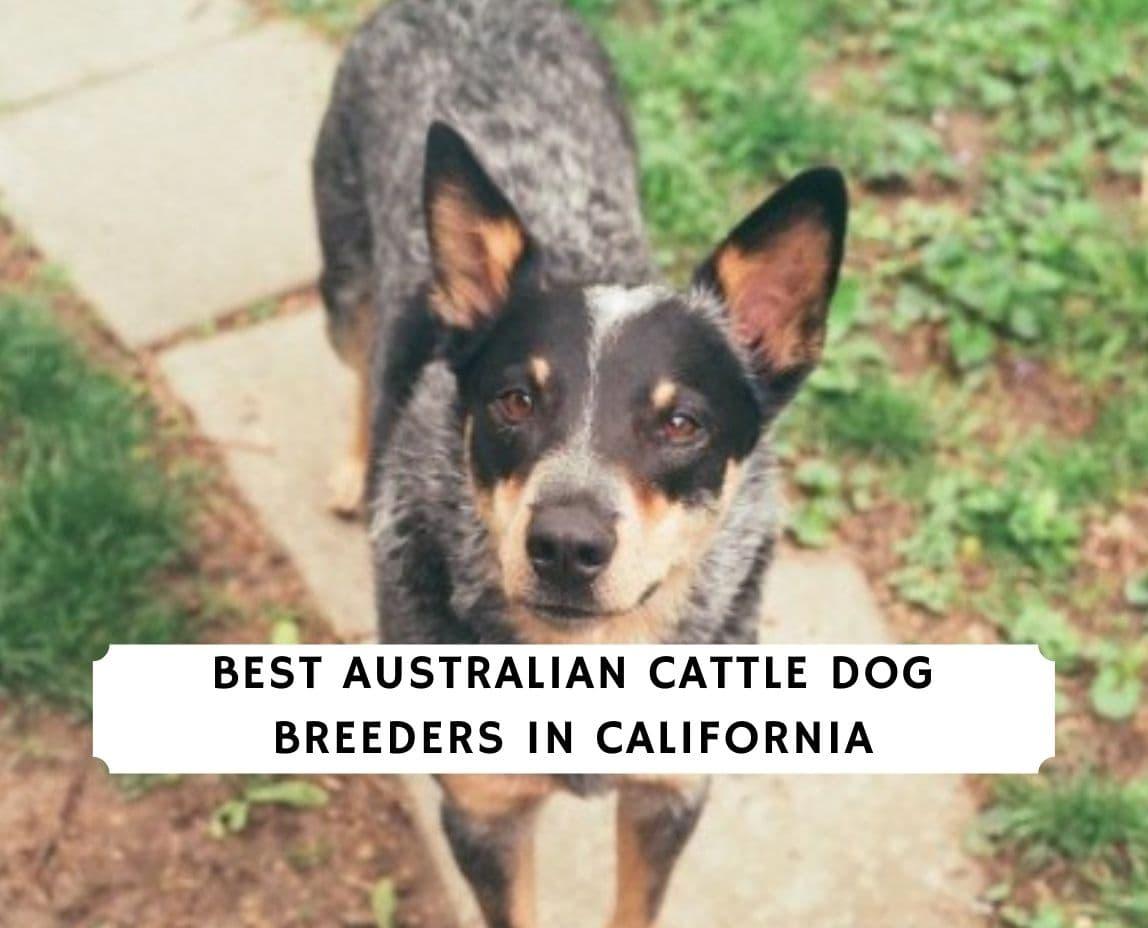 Australian Cattle Dog Breeders in California
