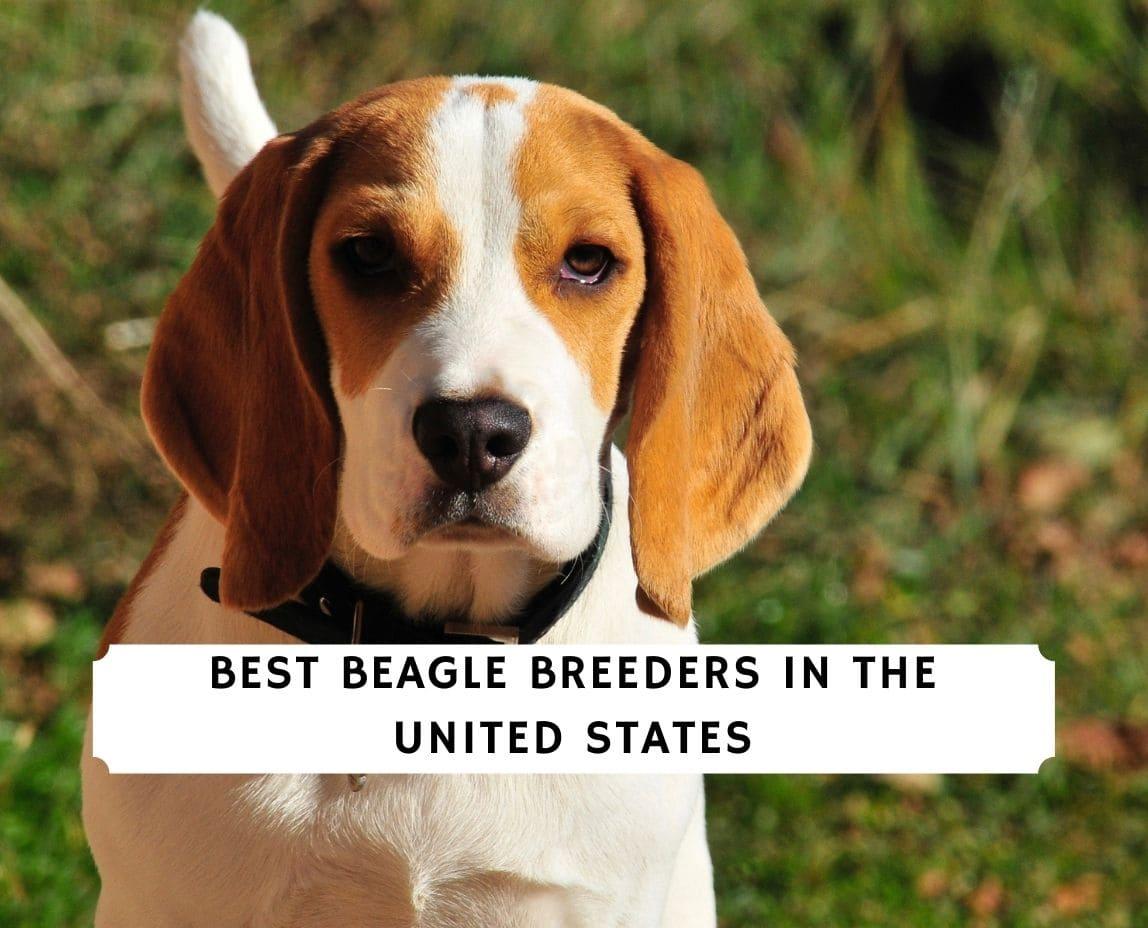 Beagle Breeders