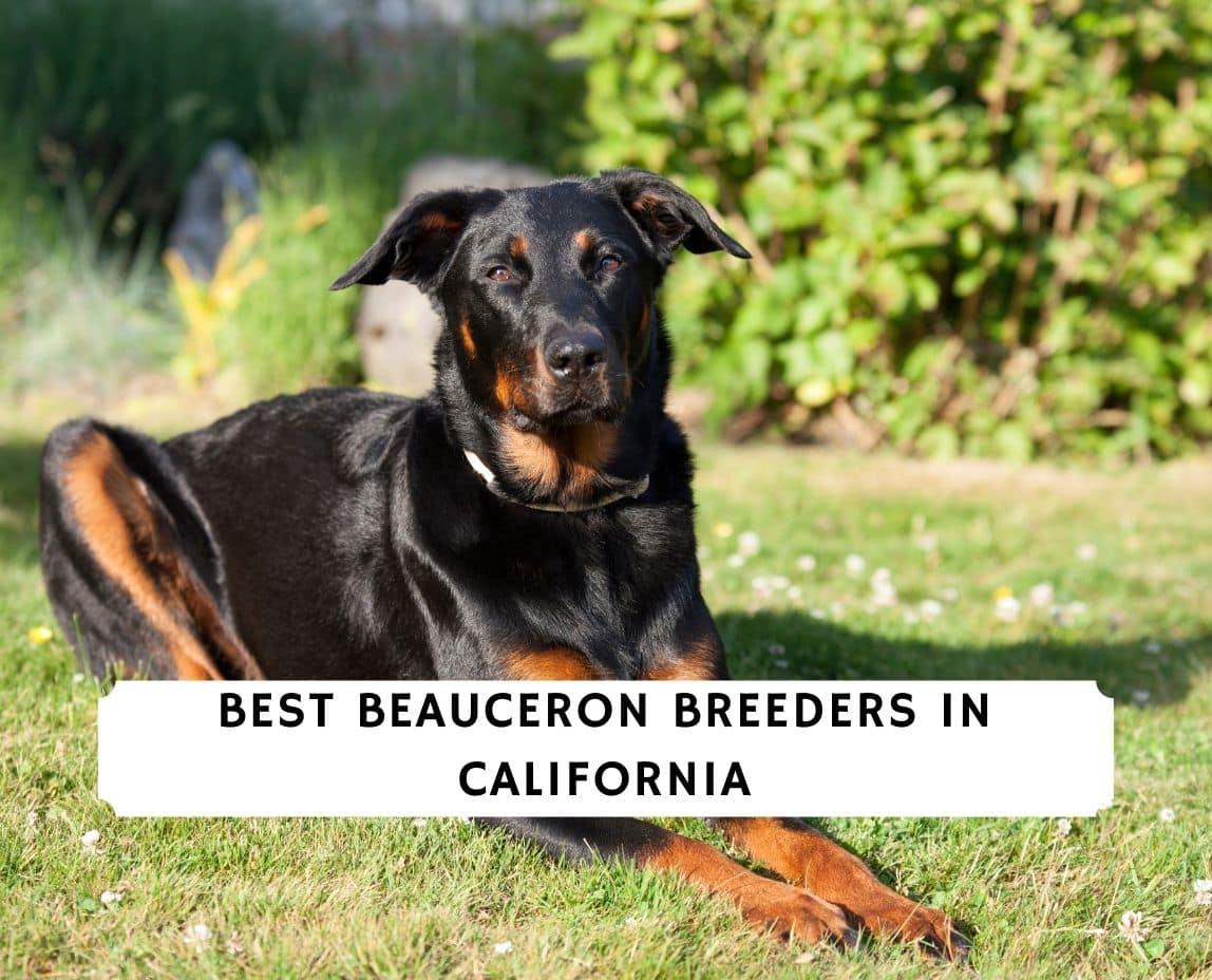 Beauceron Breeders in California