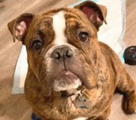 Brindle English Bulldog Health