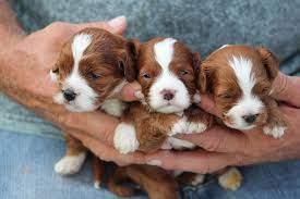 Calico Puppy Ranch