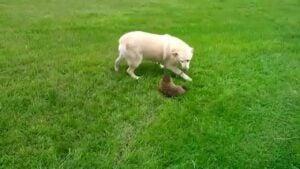Can a Dog Hurt a Groundhog