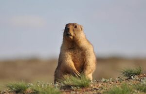 Can a Groundhog Attack a Dog?