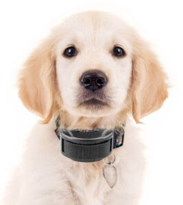 Can you Use a Shock Collar on a Puppy