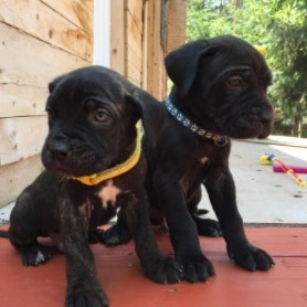 Cane Corso Puppies For Sale in the United States