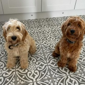 Cockapoo Puppies For Sale in Missouri
