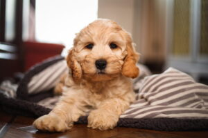 Cockapoo Puppy Smiles