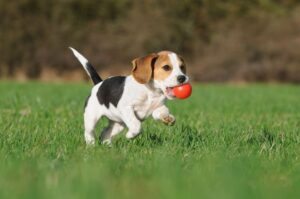 Shock collar training for a beagle