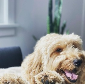 Conclusion For Fat Goldendoodle What is a Healthy Weight