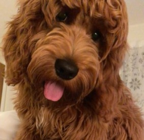 Conclusion For How to Train a Labradoodle