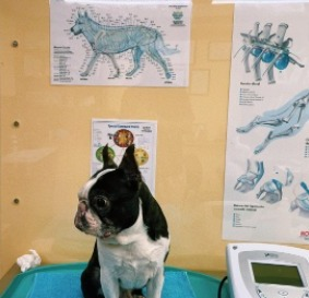 Conclusion For The Best Boston Terrier Breeders in the United States